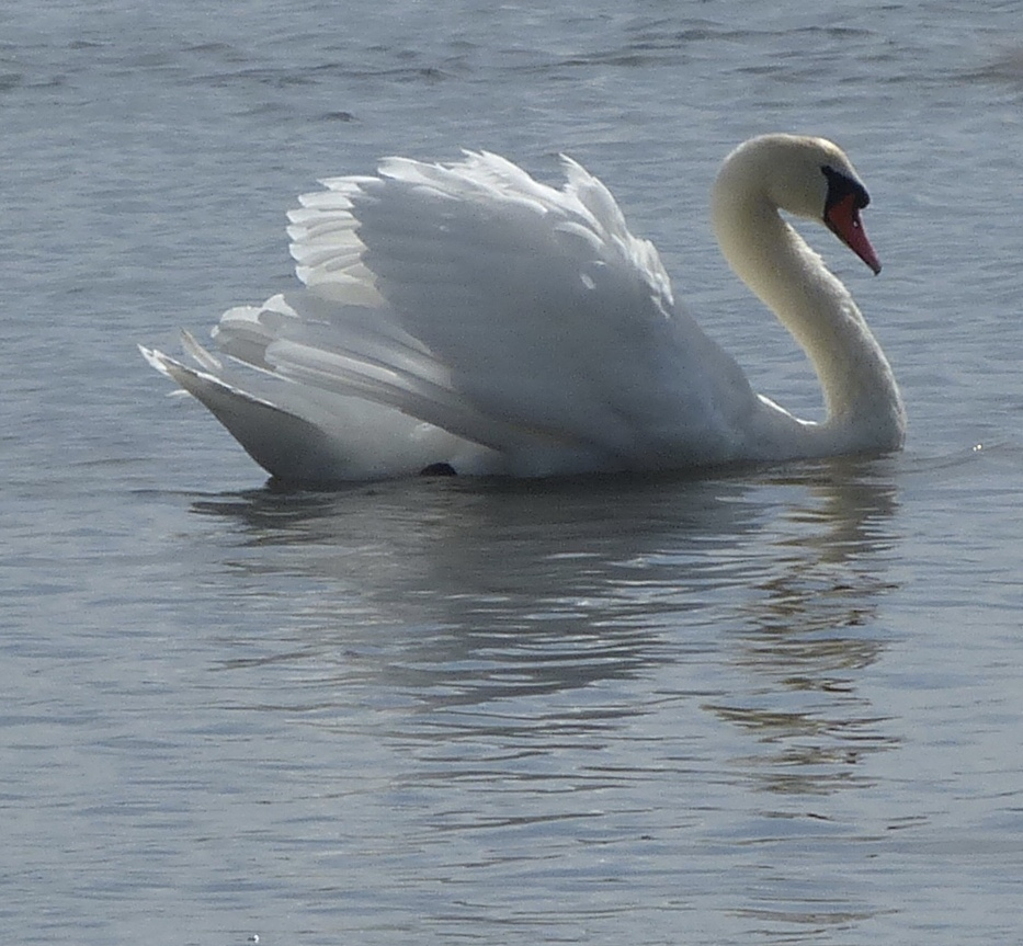 The King of Swans