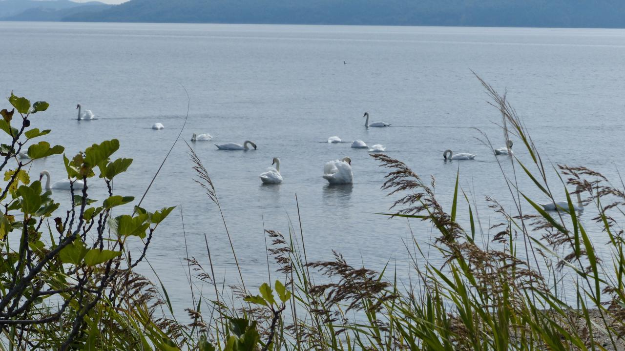 Swan, swan, over the Sea; Swim, swan, swim!