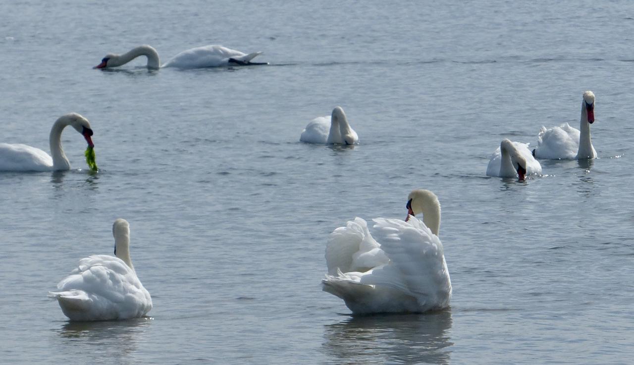 Swan, swan, back again; Well swum, swan!