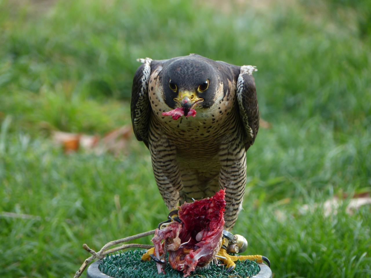 Repas du faucon