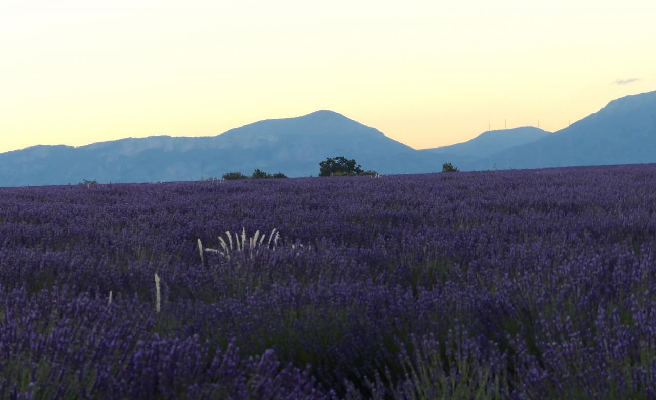 Sonnenaufgang im Lavendel