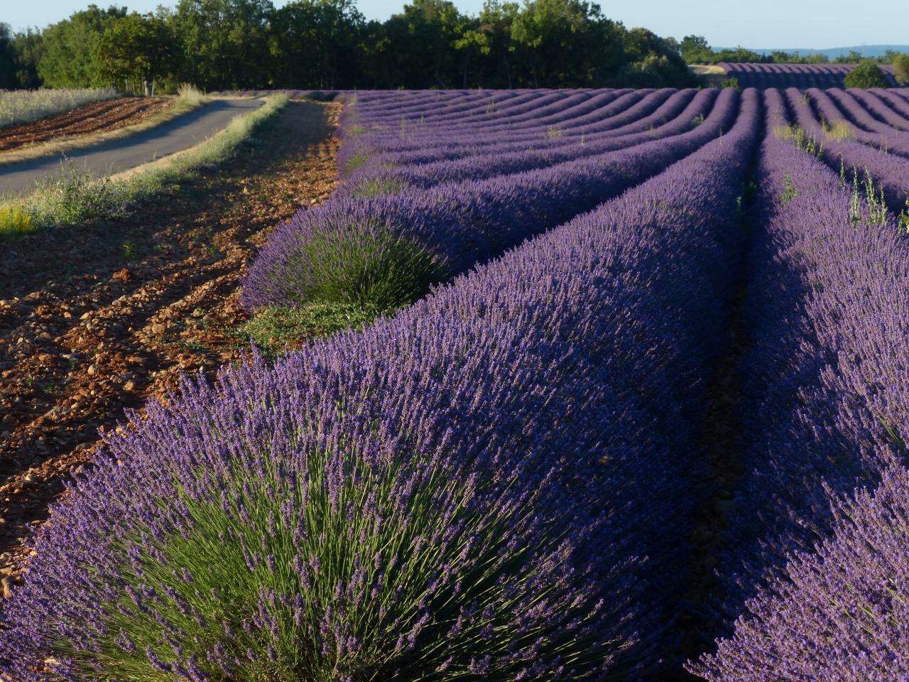 Lavendelkurve