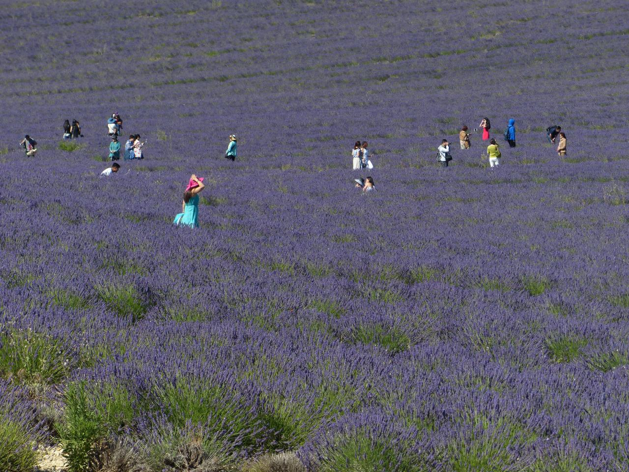 Lavender tourists