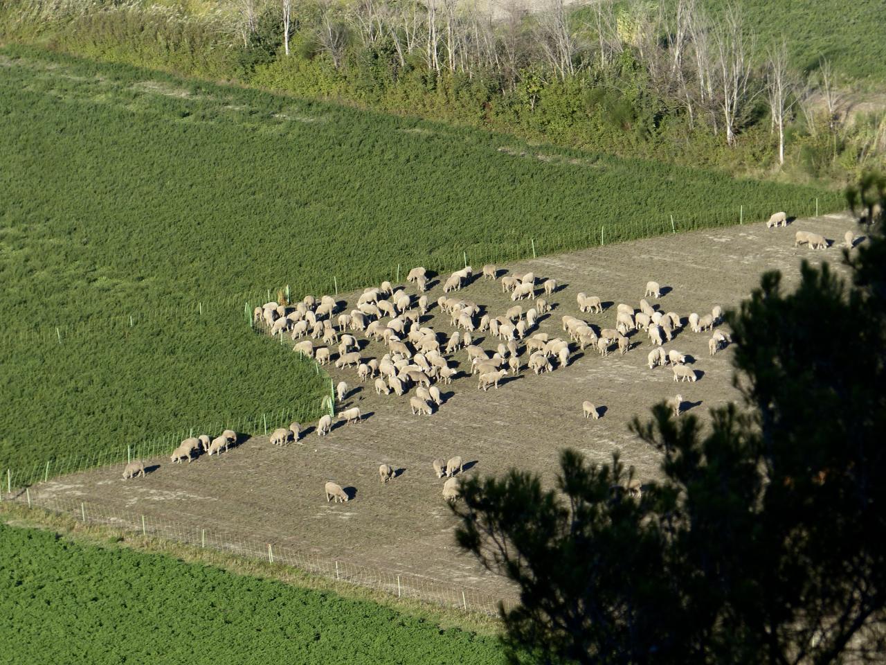 Die Schafe von Cornillon