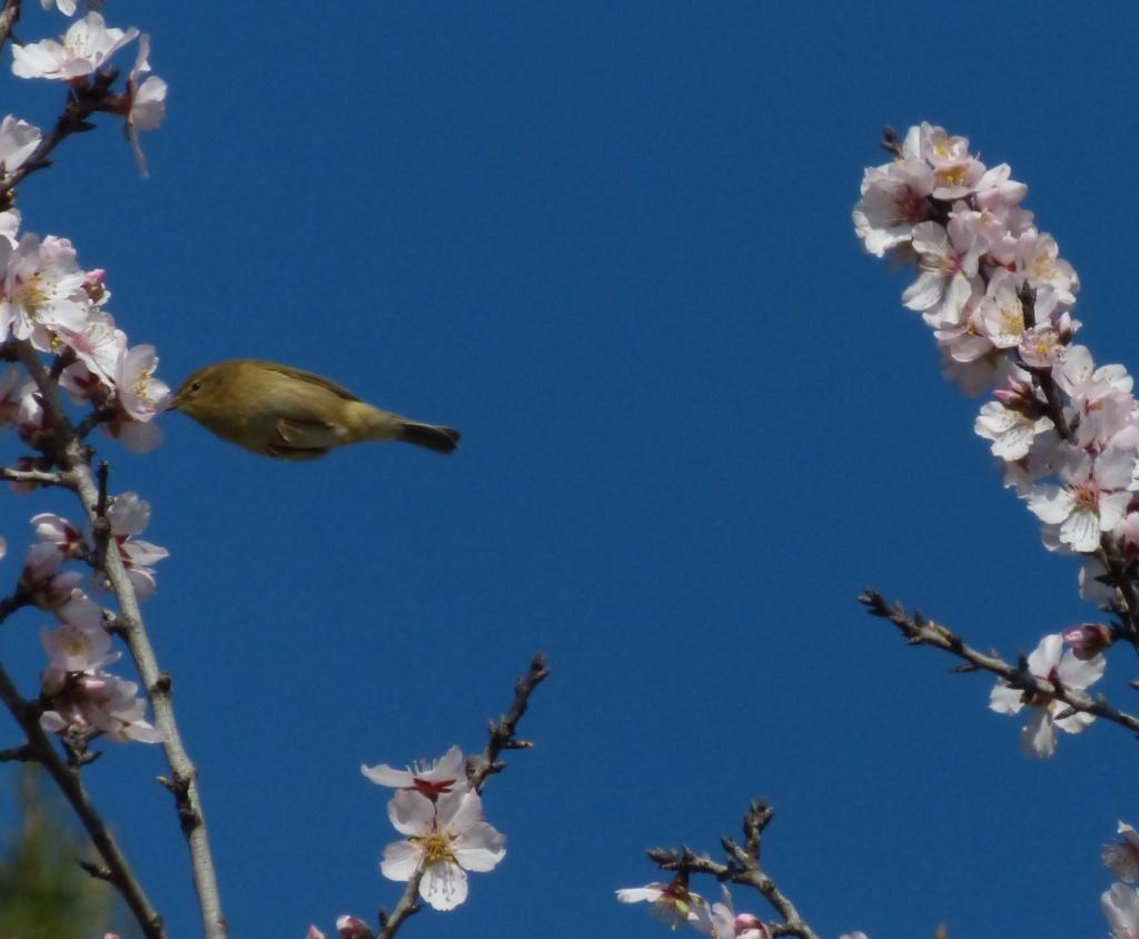 Colibri dans l'amandier